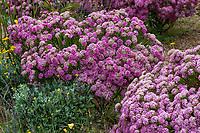 Pimelea ferruginea 'Bonne Petite' Rice Flower flowering Australian shrub in UC Santa Cruz Arboretum and Botanic Garden
