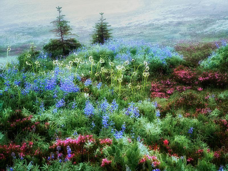 Field of various wildflowers and fog. Mt. Rainier National Park, Washington