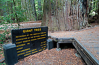 "A beautiful day in the fall at Humbolt Redwood State Park, California. A view of the ""Giant Tree""."