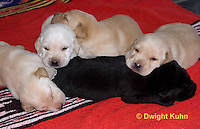 SH36-502z  Lab Dogs, 2 week old young, genetic variations of black, yellow, cream [white], Labrador Retriever