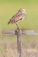 Burrowing owl (Athene cunicularia) standing on a T-perch.