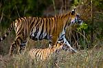 Female Bengal Tiger (Panthera tigris tigris)  (Lakshmi) with cub - around 3.5 months old - in foreground. Bandhavgarh National Park, Madhya Pradesh, India.
