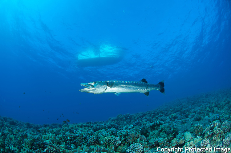 Images from a Barracuda around the reef at Molokini Maui Hawaii.Barracuda at reefs end with a boat on the surface.