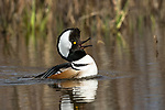 Drake hooded merganser calling on a northern Wisconsin wilderness lake