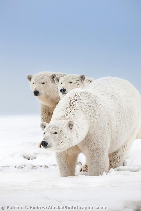 Polar bear sow and cubs show curiosity on a snow covered island in the Beaufort Sea on Alaska's arctic coast.