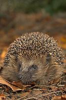 Europäischer Igel, Westigel, Braunbrustigel, Erinaceus europaeus, Western hedgehog, Hérisson d`Europe de l`Ouest