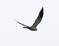 Adult Mississippi kite