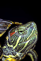1R12-004z  Red Eared Turtle - close-up of head - Chrysemys scripta