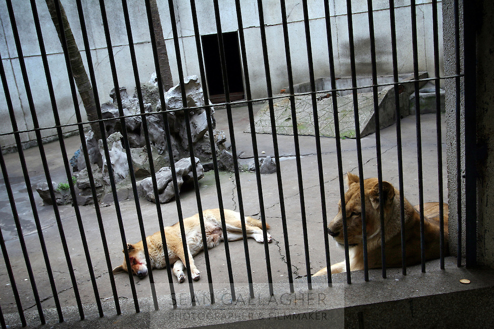 CHINA. Hubei Province. Wuhan. A lion in an enclosure in Wuhan zoo. In many of China's 'second-tier' cities, away from the modern zoos in the megacities of Beijing and Shanghai, hide a plethora of smaller unknown zoos. In these zoos, what can only be described as animal abuse is subtly taking place in the form of deprivation of light, space, sanitation and social contact with other animals. Living in awful conditions, these animals spend there days entertaining tourists who seem oblivious to the animals' plight and squalid existence. 2008..