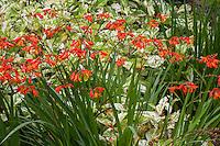 Crocosmia (Crocosmia x crocosmiiflora) flowering with variegated foliage knotweed Persicaria virginiana 'Painter's Palette'; Gary Ratway garden
