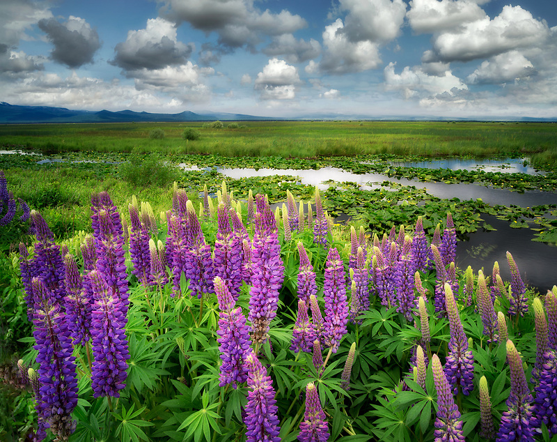 Lupine and clouds in the Klamath Marsh National Wildlife Refuge, Oregon