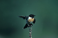 Common Stonechat, Saxicola torquata , male flapping wings, Camargue, France, May 1993