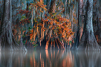 The day's last light illuminates the fall color on this old cypress tree, as the swamp fades into the shadows of the evening.