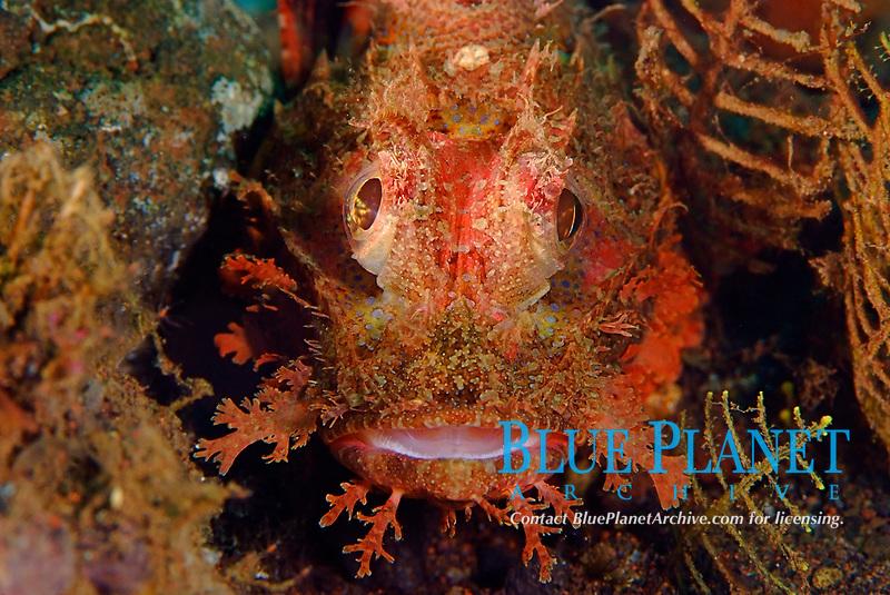 Smallscale scorpionfish, scorpaenopsis oxycephalus. Grows to 22cm. Bali indonesia