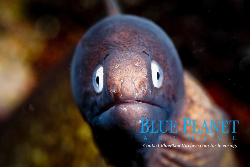 White eyed moray eel, siderea thysoidea