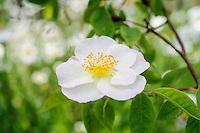 Rosa 'Dupontii'