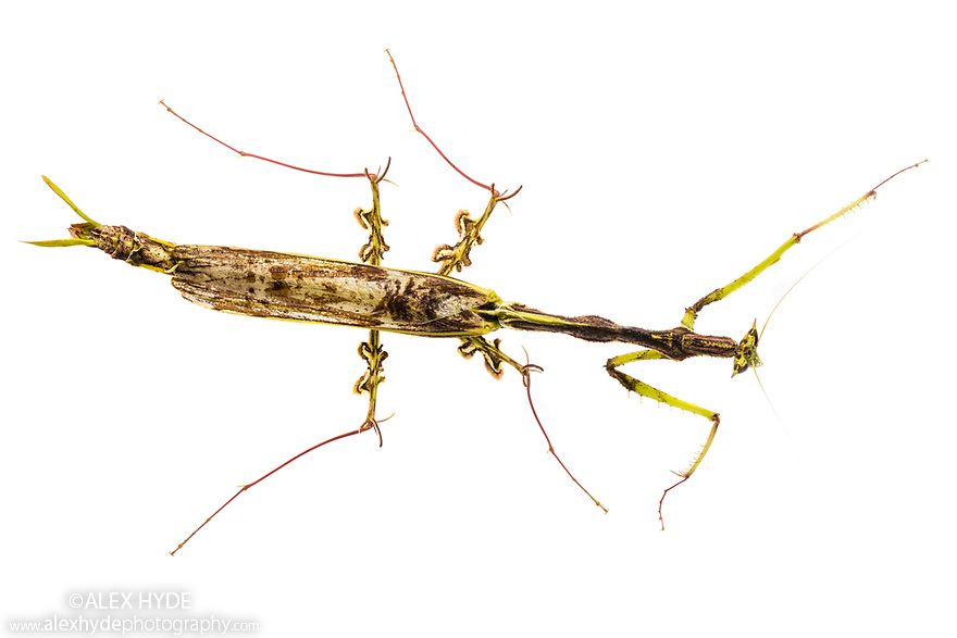 Dragon Mantis (Toxodera beieri), photographed on a white backround in mobile field studio. Danum Valley, Sabah, Borneo. June.