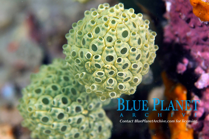 Tunicate colony, Pohnpei, Federated States of Micronesia