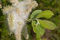 Sal-Weide, Salweide, fruchtend, Samen mit weißen Flughaaren, Früchte, Frucht, Weide, Salix caprea, Goat Willow, Pussy Willow, Sallow
