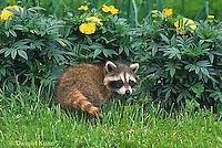 MA21-043x  Raccoon - young animal exploring - Procyon lotor