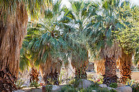 Washingtonia filifera, California fan palm; Palm trees as oasis; resilient, drought tolerant summer-dry garden at Palm Springs Art Museum in Palm Desert, California