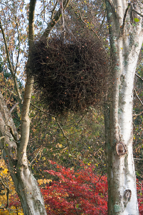 The so-called witch's broom found in silver birch trees is in fact a tangle of twigs known as galls, which are growth deformities caused by the parasitic fungus Taphrina betulina or mites.