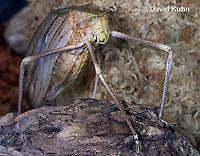 0409-1103  Giant Long-Legged Katydid, Giant Malaysian Katydid, Largest Insect in the World, Macrolyristes corporalis  © David Kuhn/Dwight Kuhn Photography
