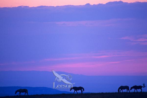 Wild horses at sunset.