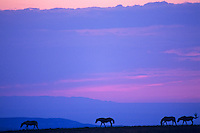 Wild horses at sunset.