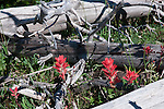 The appearance of Alpine Paintbrush (rhexifolia) shows healing foresgt fire damage.  Sillvered pine logs remain from the burn.  Deer Park, Olympic National Park. Olympic Peninsula