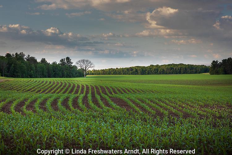 Northern Wisconsin corn field.