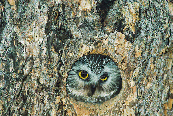 Northern Saw-whet Owl (Aegolius acadicus), adult looking out of cavity, Colorado, USA