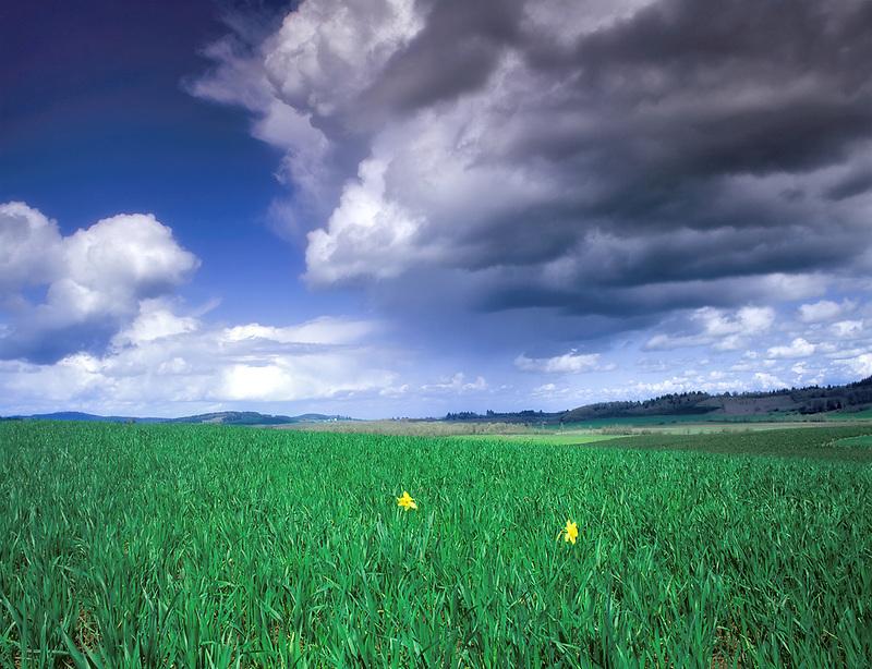 Dafodils, grass field and thunderstorm. Near Monroe, Oregon