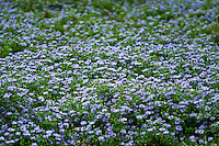 Field of blue daisies in bloom, Felicia amelloides .
