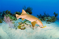nurse shark, feeding on grunt, Ginglymostoma cirratum, Key Largo, Florida Keys National Marine Sanctuary, Florida, USA, Caribbean Sea, Atlantic Ocean