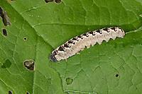 Gelbschwarze Blattwespe, Eschen-Blattwespe, Eschenblattwespe, Larve, Blattwespen-Larve, Tenthredo vespa