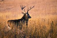 White-tailed deer. .(Odocoileus virginianus)..Autumn. Canada.