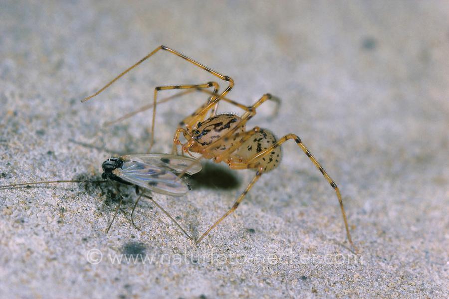 Speispinne, Spei-Spinne, mit Beute, Beutefang, Scytodes thoracica, spitting spider, Speispinnen, Scytodidae