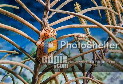 26 July 2015: A pair of Flamingo Tongue snails, Cyphoma gibbosum, are seen feeding on a soft coral at Ocean Pointe Reef, on the North Shore of Grand Cayman Island. Located in the British West Indies in the Caribbean, the Cayman Islands are renowned for excellent scuba diving, snorkeling, beaches and banking.  Mandatory Credit: Ed Wolfstein Photo *** RAW (NEF) Image File Available ***