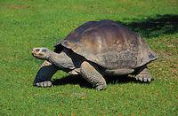 Galapagos Giant Tortoise..Captive..Chelonoidis elephantopus.