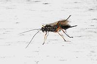 Schlupfwespe, Weibchen, Pimpla spec., Ichneumon, parasitic wasp, female