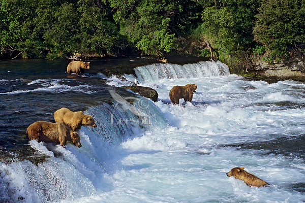 Coastal grizzlies or alaskan brown bears (Ursus arctos) fishing for salmon at Brooks Falls, Katmai National Park, Alaska.  July.