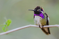 Perched Male Costa's Hummingbird (Calypte costae).  American Desert Southwest.  March.