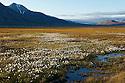 Arctic cottongrass dots the floor of a meadow outside Longyearbyen, Spitzbergen, Svalbard.