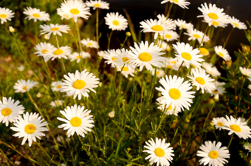 A dandy of a patch of daisies...