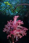 Pink Dendronepthya mangrove