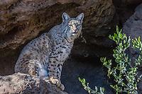 Bobcat (Lynx rufus).  Desert.  Arizona.