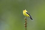 Male American goldfinch perched on the top of a white spruce.