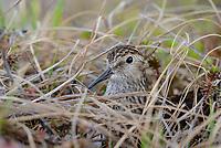 Least Sandpiper (Calidris minutilla) peering through sedges while incubating a nest. Yukon Delta National Wildlife Refuge. May.