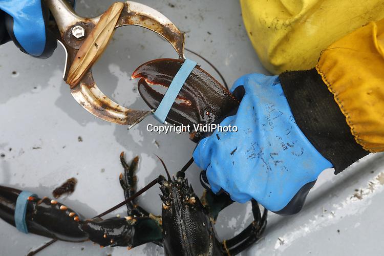 Foto: VidiPhoto<br /> <br /> YERSEKE - Het seizoen voor de kreeftenvisserij is in volle gang en duurt van half maart tot half juli. De zwagers Maurice Boone en Markus Wijkhuis uit Yerseke runnen samen een vissersbedrijf met twee kotters en een werkvlet. Naast het kweken van oesters, vissen ze op kreeften en paling. Volgens de vissers zijn er teveel vergunninghouders, waardoor de visserijdruk op de Oosterschelde is toegenomen en de vangsten tegenvallen. Ondanks dat de horeca gesloten is, staan de prijzen voor de gewilde Oosterschelde kreeft niet onder druk. Foto: Om te voorkomen dat kreeften zichzelf en anderen beschadigen, worden de scharen voorzien van een elastieke band.